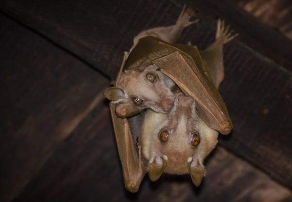 What Diseases Can Bats Transmit? A Danger to People